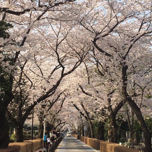 青山霊園、桜、2018春