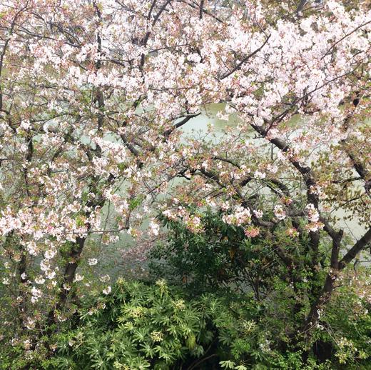 桜、葉桜、ゴールデンウィーク、東京蚤の市