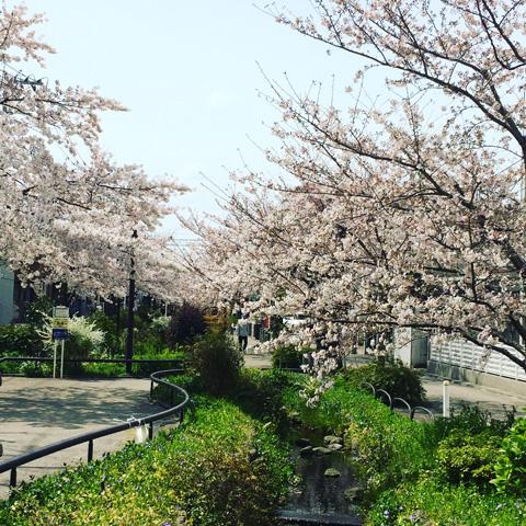 下北沢、緑道、桜、満開