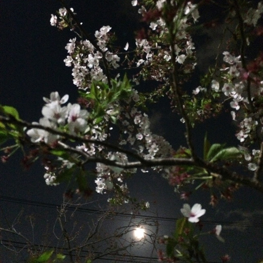 夜桜、下北沢、緑道