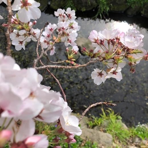 2020、桜、北沢緑道