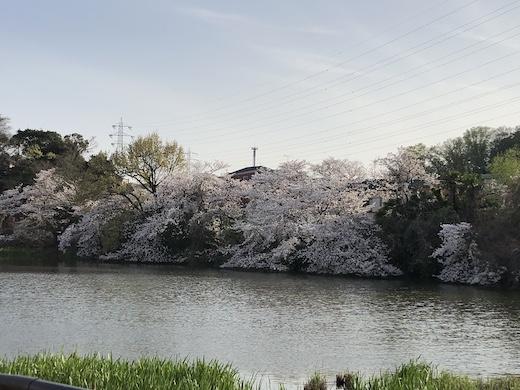 桜、2021