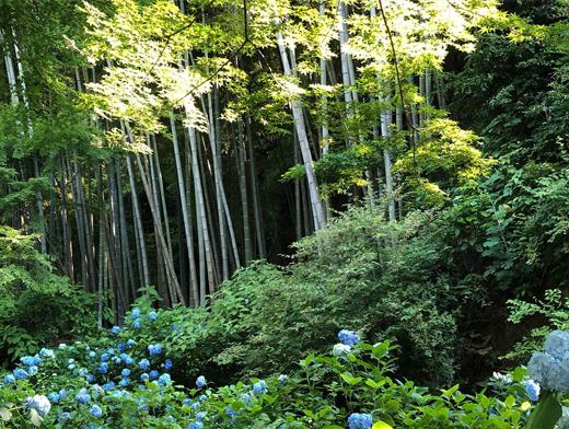 明月院、鎌倉、紫陽花