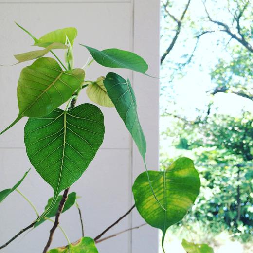 夏の終わり、菩提樹の芽吹きnature.green
