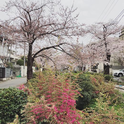 北沢緑道、お花見、2019桜