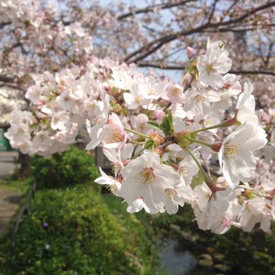 北沢緑道、桜