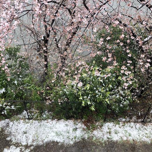 桜、雪、臨時休業