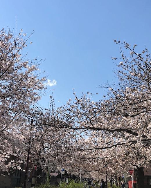 北沢緑道、桜、2021
