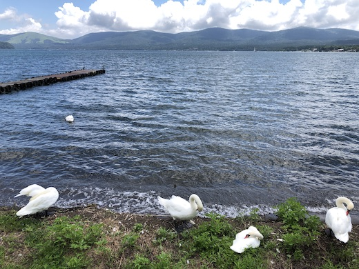 山中湖、2020夏、白鳥