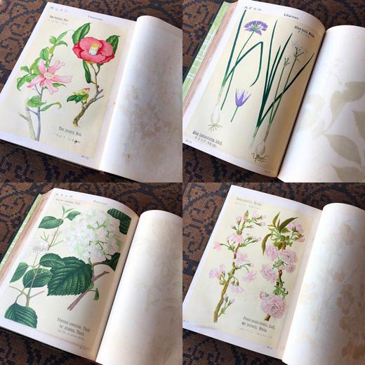 牧野富太郎、植物図譜、ボタニカルアート、石版画、初版、明治43年